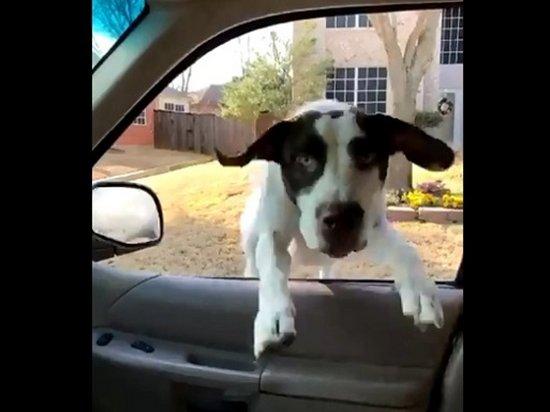 Видеохит: Счастливый пес запрыгнул в окно авто