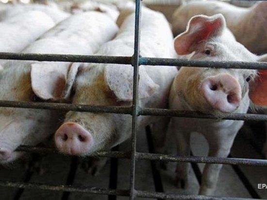 В Украине количество вспышек чумы свиней близится к сотне