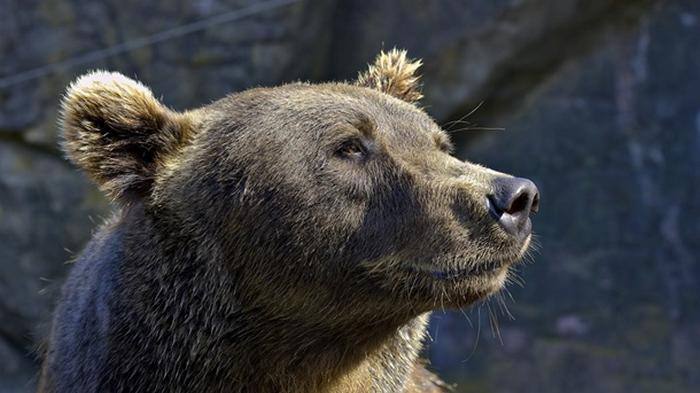 В Японии растет число нападений медведей на людей