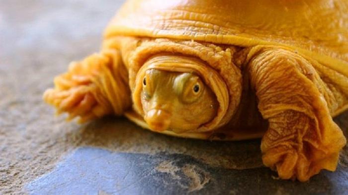 В Индии обнаружили редкую черепаху-альбиноса (фото)