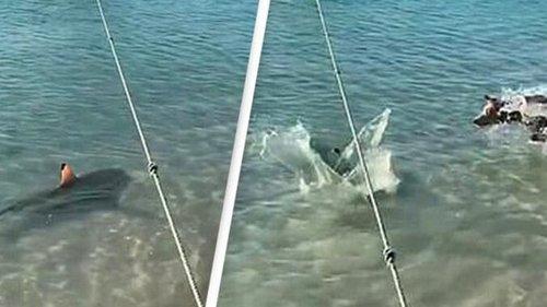 В Австралии сняли на видео бросок пса на акулу (видео)