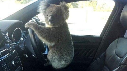 В Австралии коала устроила ДТП (фото)