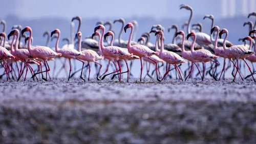 Тысячи фламинго превратили озеро в Индии в розовое море (видео)