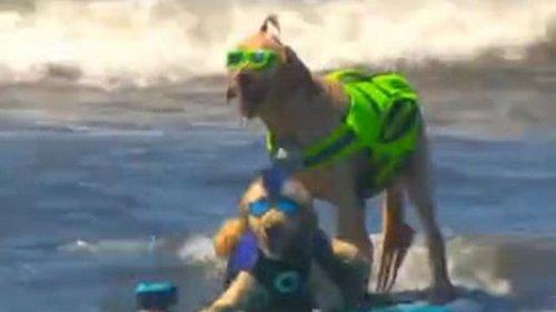 В Калифорнии определили лучшего собаку-серфингиста (видео)
