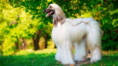 Самые красивые породы собак: как с картинки