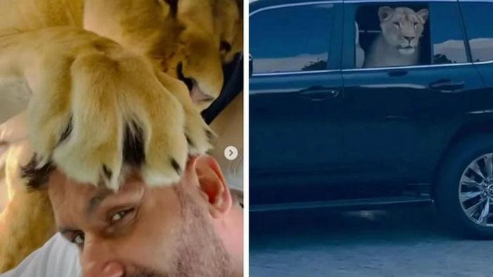 Африканский лев в авто облизывает голову депутата и выглядывает из окна Toyota Land Cruiser.